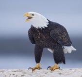 Águila llamada Imágenes de archivo libres de regalías