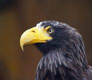 Águila majestuosa Imagenes de archivo