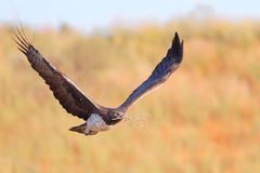 Águila marcial Foto de archivo