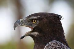 Águila marcial fotos de archivo