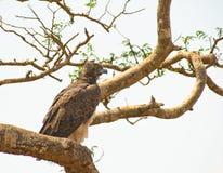 Águila marcial adulta en árbol Fotografía de archivo
