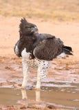 Águila marcial (alarma de Polemaetus Fotos de archivo libres de regalías