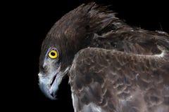 Águila marcial (bellicosus de Polemaetus) Fotos de archivo