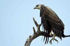 Águila marcial (bellicosus de Polemaetus) imagenes de archivo