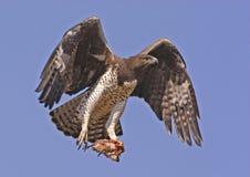 Águila marcial con la presa Fotografía de archivo