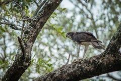 Águila marcial con una matanza en un árbol en el parque nacional de Kruger fotografía de archivo libre de regalías