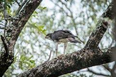 Águila marcial en un árbol con una matanza imágenes de archivo libres de regalías