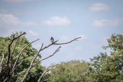 Águila marcial en una rama en el Kruger fotos de archivo