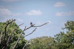 Águila marcial en una rama en el Kruger imágenes de archivo libres de regalías