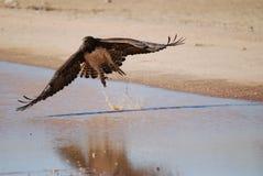 Águila marcial en vuelo imagen de archivo