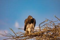 Águila marcial juvenil, bellicosus de Polemaetus, una especie vulnerable, encaramada en ramas del árbol de florecimiento del acac imagenes de archivo
