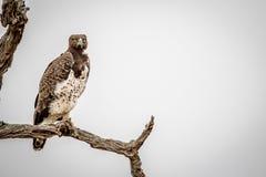Águila marcial que se sienta en una rama fotografía de archivo libre de regalías