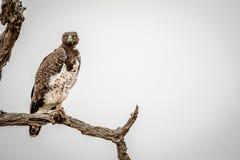 Águila marcial que se sienta en una rama imagen de archivo libre de regalías