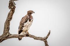 Águila marcial que se sienta en una rama fotos de archivo