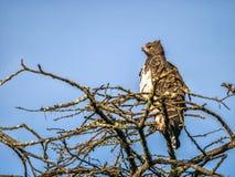Águila marital que se sienta en el top del árbol africano, Kenia foto de archivo