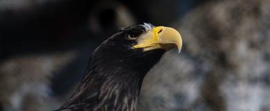 Águila negra Fotografía de archivo