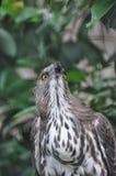 Águila negra india Fotos de archivo libres de regalías