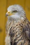 Águila principal blanca - de la cara Imagen de archivo
