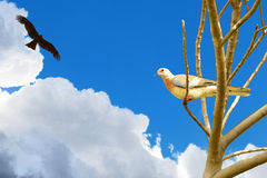 Águila que caza en paloma Foto de archivo