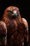 Águila real 2 fotos de archivo