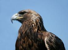 Águila real Fotos de archivo
