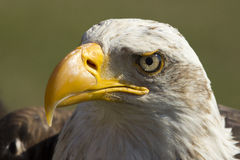 Águila real Fotos de archivo libres de regalías