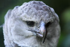 Águila real Imagen de archivo