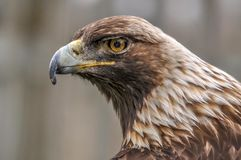 Águila real curiosa que me mira, Quebec, Canadá Fotos de archivo