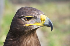 Águila rojiza Fotografía de archivo