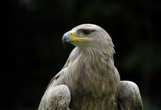 Águila rojiza Fotos de archivo libres de regalías