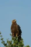 Águila rojiza Imagenes de archivo