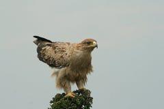 Águila rojiza no madura Imagenes de archivo