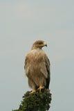 Águila rojiza no madura Imagen de archivo