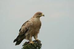 Águila rojiza no madura Foto de archivo libre de regalías