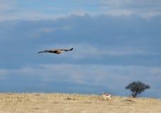 Águila rojiza sobre el Masai Mara Imagenes de archivo