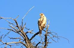 Águila salvaje Imagenes de archivo