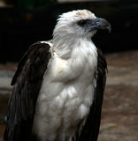 Águila Sideview Imagenes de archivo
