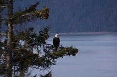 Águila sobre el agua Imágenes de archivo libres de regalías