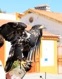 Águila sobre el guante del halconero en Portugal Imágenes de archivo libres de regalías
