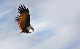 Águila sobre fondo del cielo Imagen de archivo