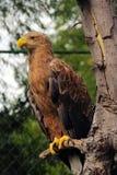 Águila solitaria fotos de archivo