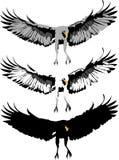 Águila Swooping Foto de archivo libre de regalías