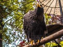 Águila terrible que se sienta en una rama imagen de archivo libre de regalías