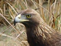 Águila verdadera fotografía de archivo