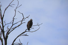Águila vieja Fotos de archivo libres de regalías