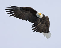 Águila vigilante - poli de tráfico Fotos de archivo libres de regalías