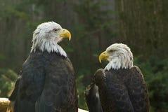 Águilas calvas Imagen de archivo