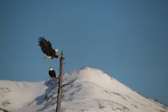 Águilas calvas que aterrizan en el árbol Alaska Fotos de archivo