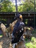 Águilas calvas que se sientan en un tronco de árbol fotografía de archivo libre de regalías