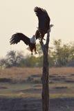 Águilas de pescados que luchan Fotografía de archivo